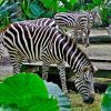 Singapore Zoo (8)